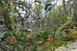 Table Mountain Pine (Pinus pungens) Male & Female Flowers