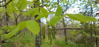 Pignut Hickory (Carya glabra) Flowers