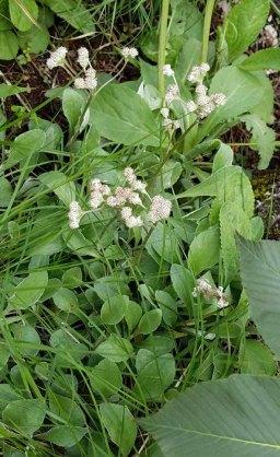Pussytoes (Antennaria plantaginifolia)