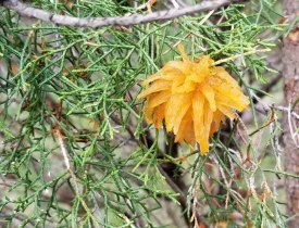 Cedar-apple Rust (Gymnosporangium juniperi-virginianae)