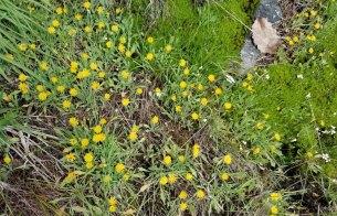 Field of Dwarf Dandelion (Krigia virginica)