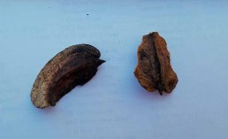 Two-winged Silverbell (Halesia diptera) Seed Pods