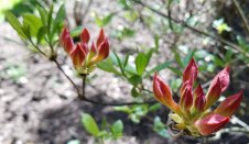Oconee azalea (Rhododendron flammeum)