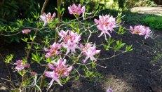 Pinxterflower Azalea (Rhododendron periclymenoides)