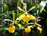 Conservatory Orchid