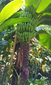 Banana Anyone?