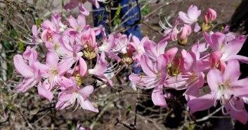 Pink-Shell Azalea (Rhododendron vaseyi)