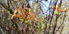 Florida Flame (Rhododendron austrinum)