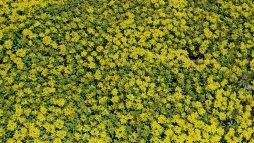 Sea of Yellow
