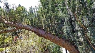 Upright Japanese Plum Yew