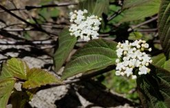 Wild Raisin (Viburnum nudum var. cassinoides)