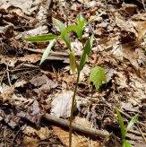 Wild Oats (Uvularia sessilifolia)