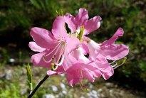 Pink Shell Azalea (Rhododendron vaseyi)