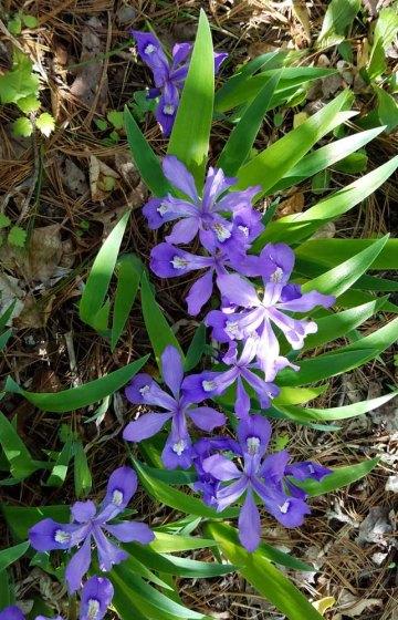 Dwarf Crested Iris (Iris cristata)