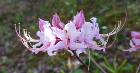 Pinxterflower Rhododendron (Rhododendron periclymenoides)