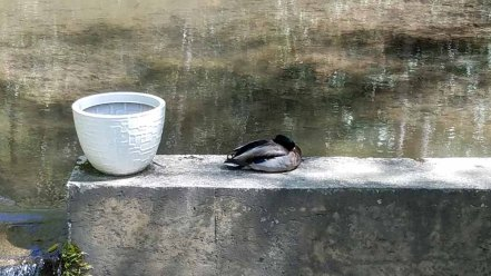Still Life With Duck