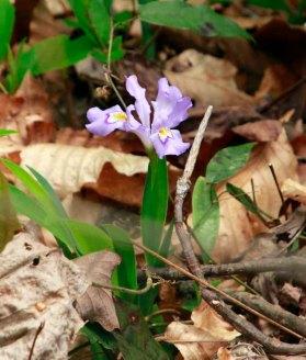 Crested Dwarf Iris (Iris cristata)