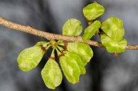 Slippery Elm Seed Pods (Ulmus rubra)
