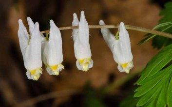 Dutchman's Breeches (Dicentra cucullaria)