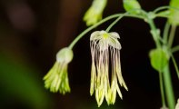 Early Meadow Rue (Thalictrum dioicum)