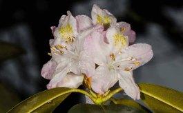 Rhododendron minus var. minus (Carolina Rhododendron)