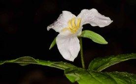 Jones Gap Trillium (Trillium sp.)