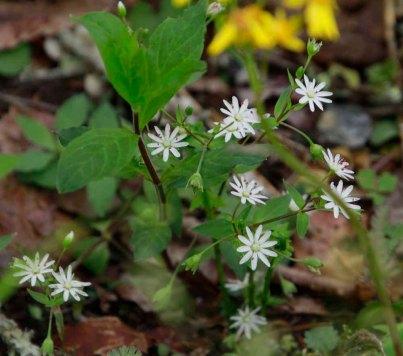 Star Chickweed (Stellaria pubera)