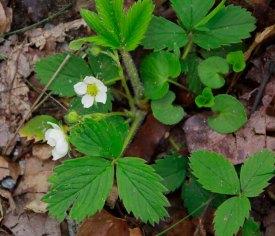 Wild Strawberry (Fragaria virginiana)