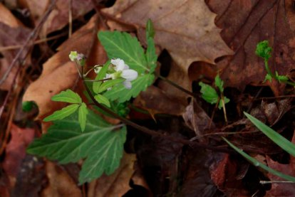 Toothwort (Cardamine diphylla)