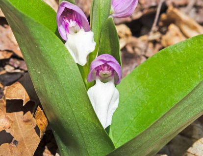 Showy Orchis (Galearis spectabilis)