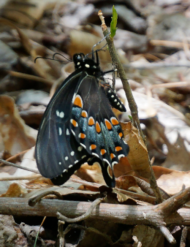 Emerging Butterfly