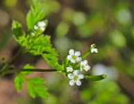 Southern Chervil (Chaerophyllum tainturieri)