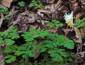 Dutchmans Breeches (Dicentra cucullaria)