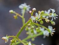 Mountain or Brook Lettuce (Micranthes micranthidifolia)