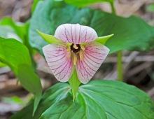 Strange Trilliums - T. sulcatum or T. simile?