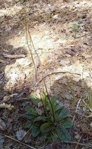 Rattlesnake Weed (Hieraceum venosum)