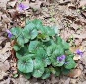 Southern Wood Violet (Viola hirsulata)