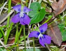 Marsh Blue Violet (Viola cucullata)
