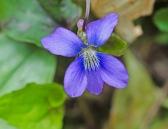 Three-lobed or Wood Violet (Viola palmata)