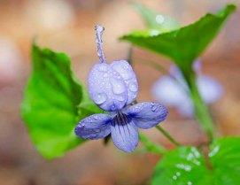 Long-spurred Violet (Viola rostrata)