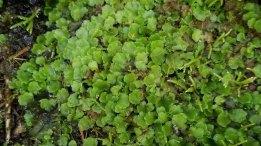 a Pellia Liverwort (Pellia sp.)