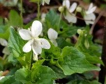 Cream Violet (Viola striata)