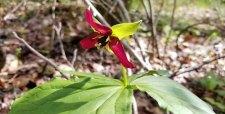 Wake Robin (Trillium erectum (maroon)