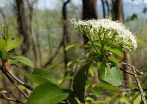 Black Haw (Viburnum prunifolium)