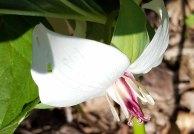 Southern Nodding Trillium close-up (Trillium rugelii)