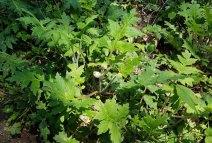 Large-Leaf Waterleaf (Hydrophyllum macrophyllum)