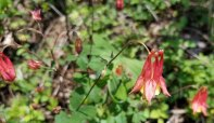 Columbine (Aquilegia canadensis)