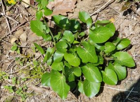 Meadow Parsnip (yellow) (Thaspium trifoliatum v. aureum) Leaves