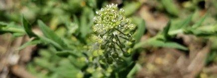 Peppergrass (Lepidium virginicum)