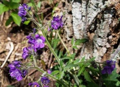 Purple Phacelia (Phacelia bipinnatifida)